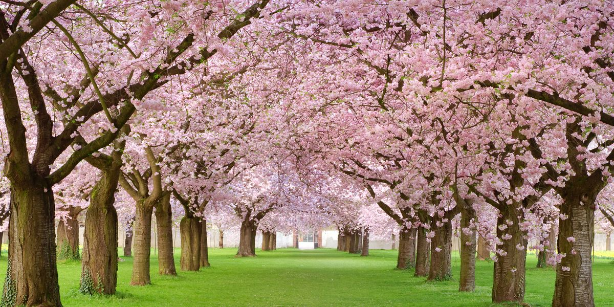 20 Cherry Blossom Tree Facts Things You Didn T Know About Blossoms