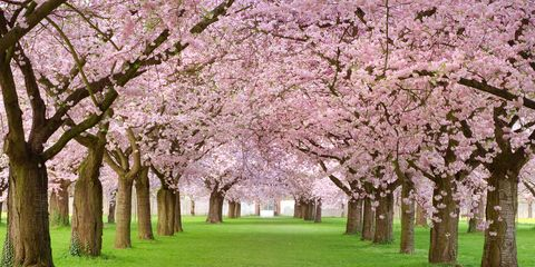 Cherry Blossom Trivia Fun Facts