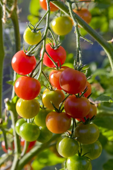 tomatoes on vine in various stages of ripening