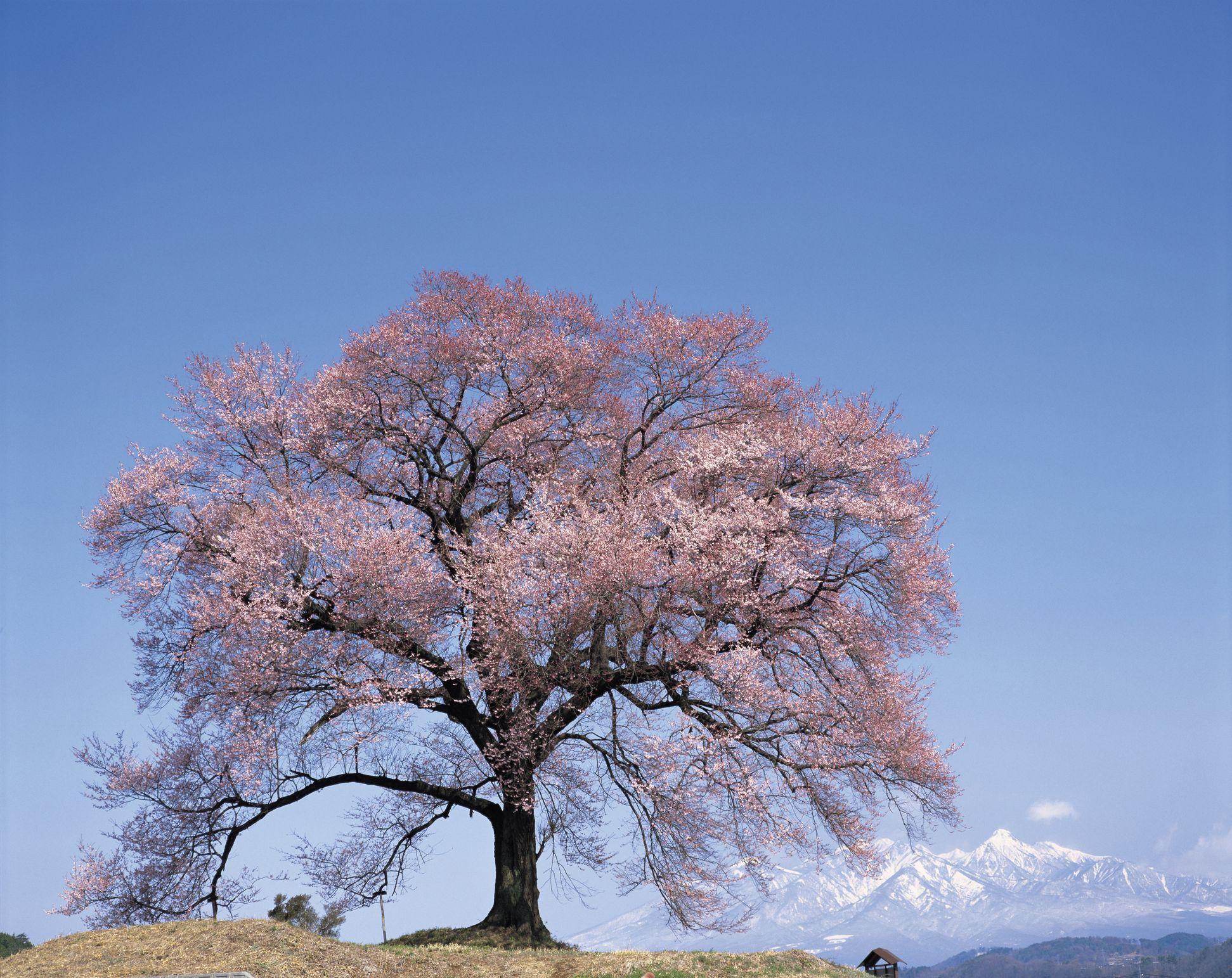 cherry blossom tree facts