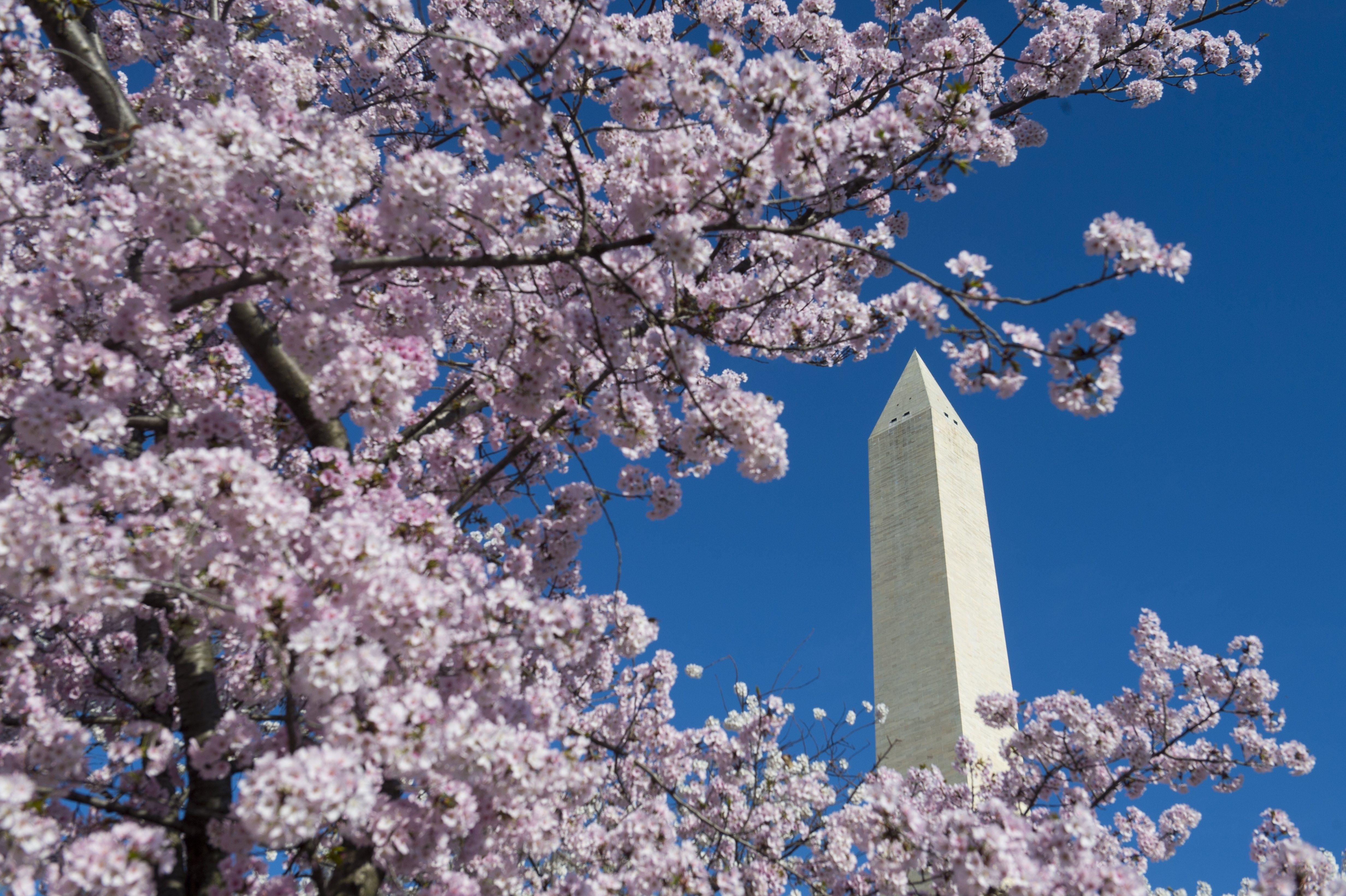 Watch D C Cherry Blossoms Livestream Amid Coronavirus