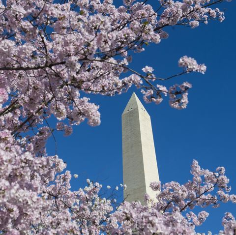dc national mall cherry tress blossoms bloom
