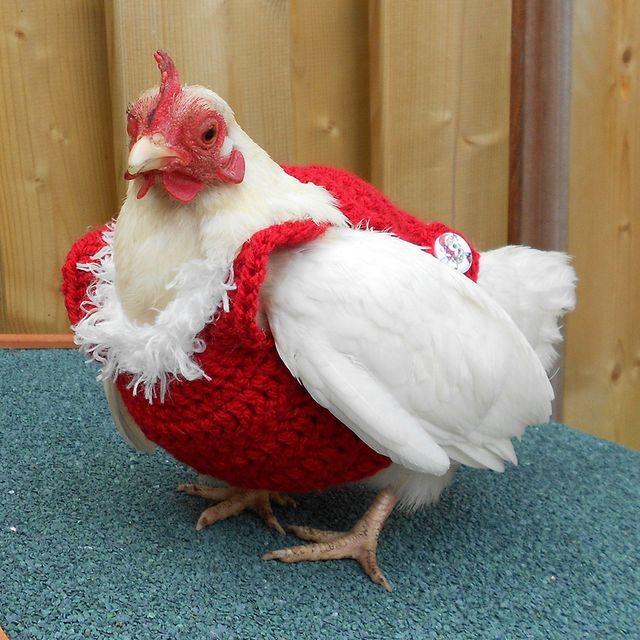 Bird, Chicken, Red, Comb, Beak, Rooster, Galliformes, Fowl, Poultry, Livestock,