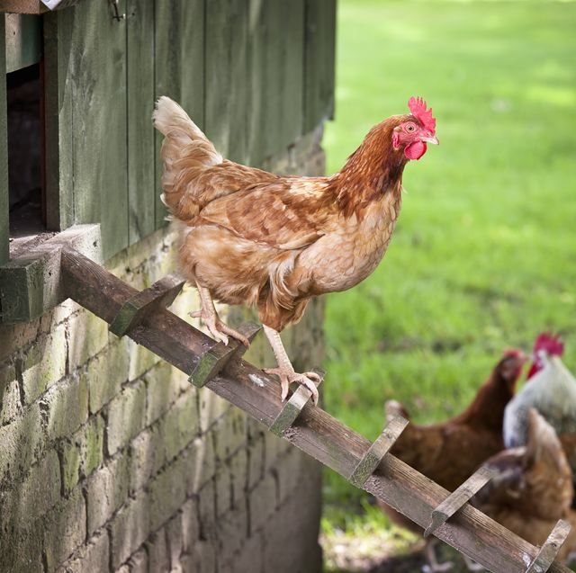 23 Best Chicken Coop Kits for Sale - Cool Backyard Chicken ...