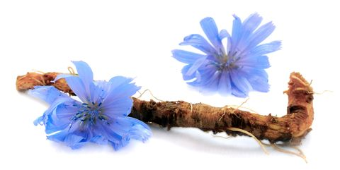 Chicory root and flowers are isolated on white background. Blue flowers of chicory.