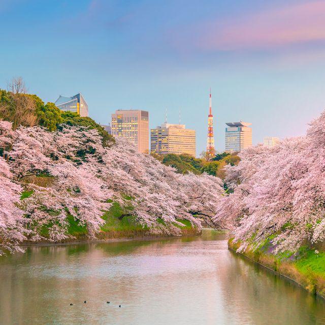 Chidorigafuchi park during the spring season in Tokyo