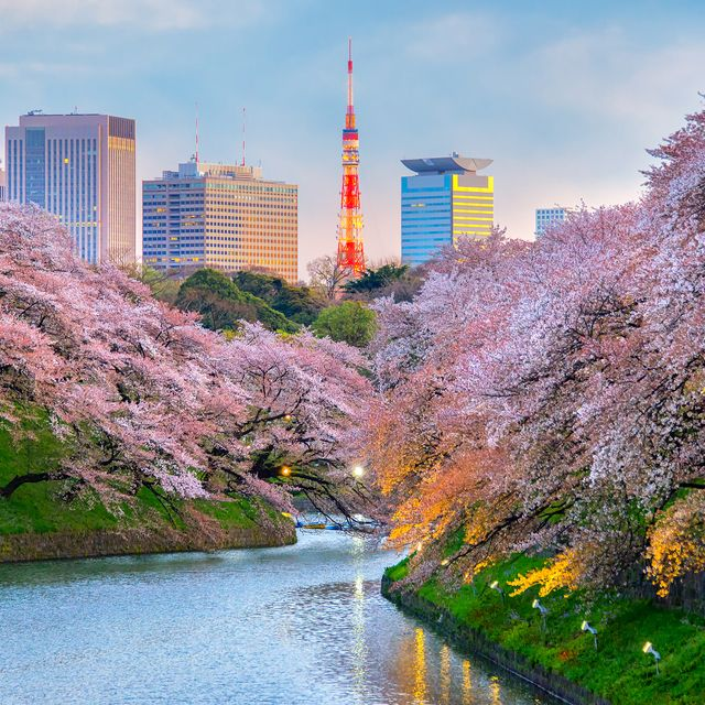 cherry blossom holiday to japan