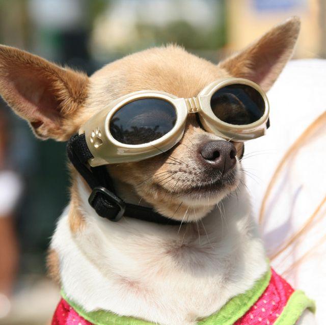 Chihuahua dog wearing protective eyewear