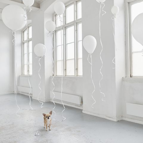 dog in white room with balloons