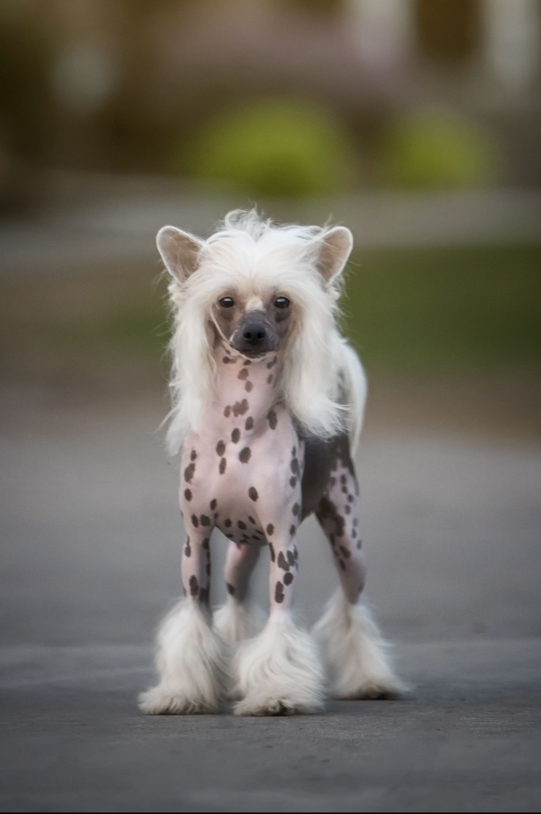 Dogs That Don't Shed - Chinese Crested Dog