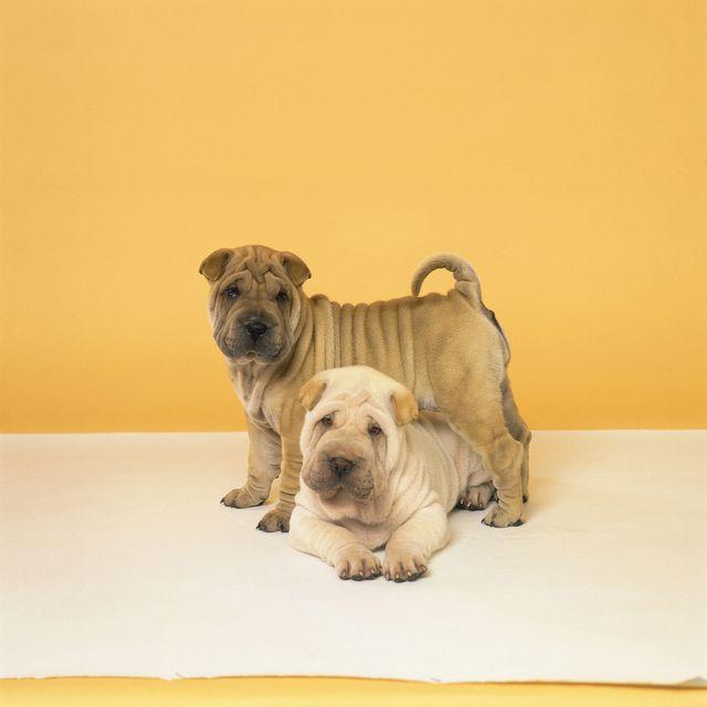 chinese-dog-breeds