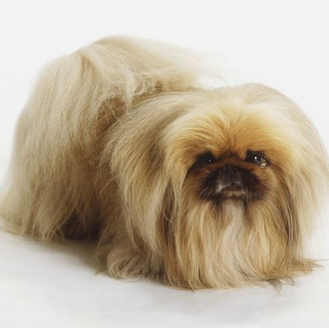chinese-dog-breeds-pekingese