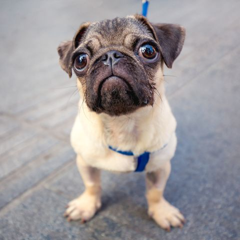 chinese-dog-breeds-pug