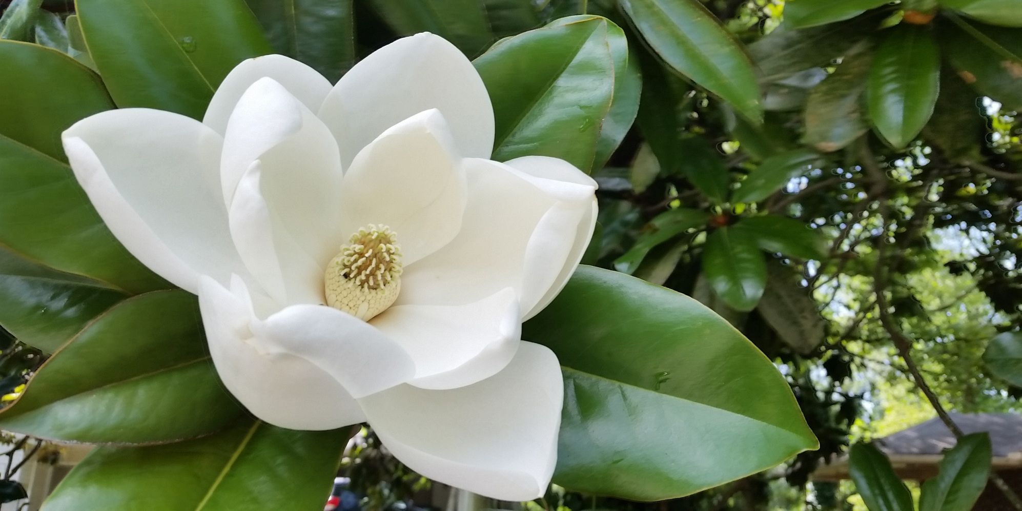 chip and joanna magnolia meaning