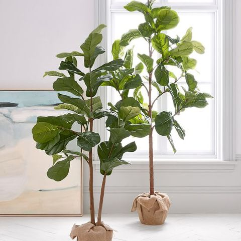 chip joanna gaines nursery fiddle leaf fig tree