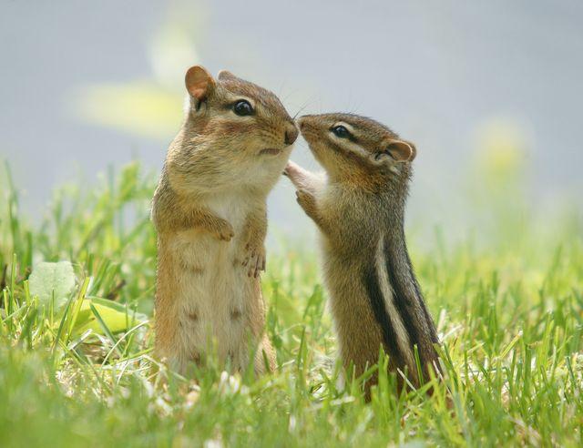 chipmunks in grasses