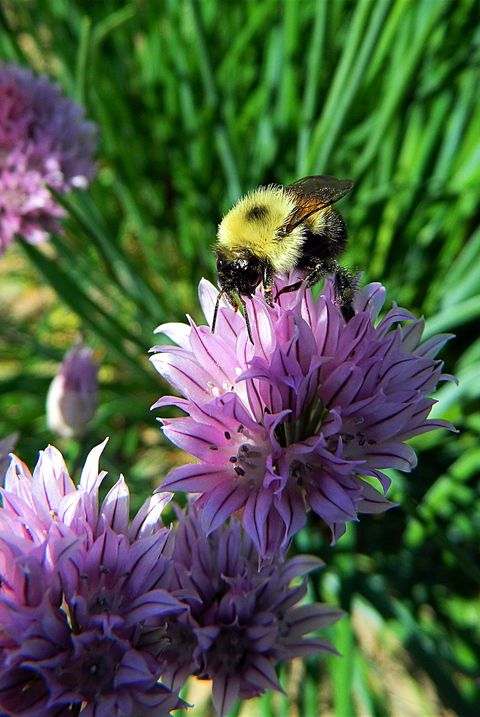 close up of bumblebee pollinating chive flowers