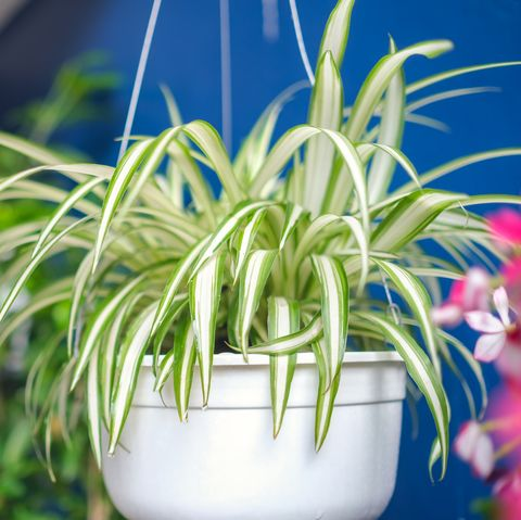 spider plant   indoor hanging plant