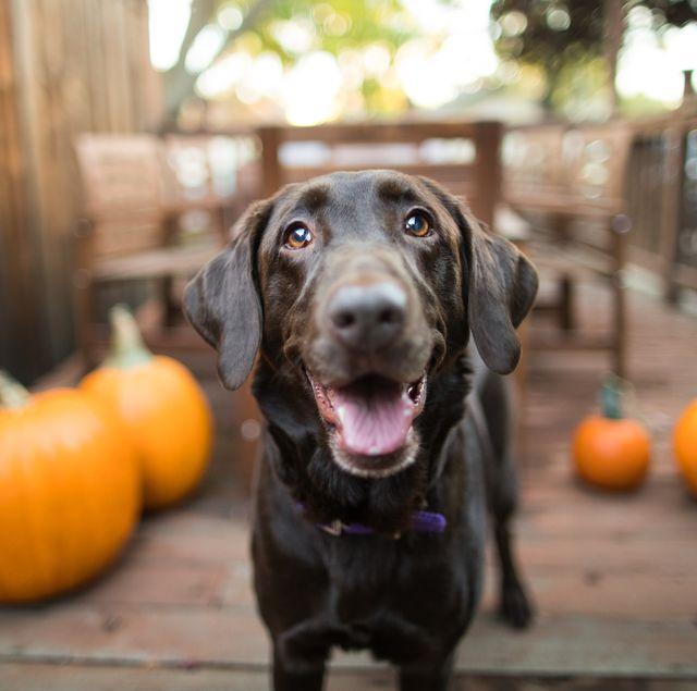 can dogs eat pumpkin pie