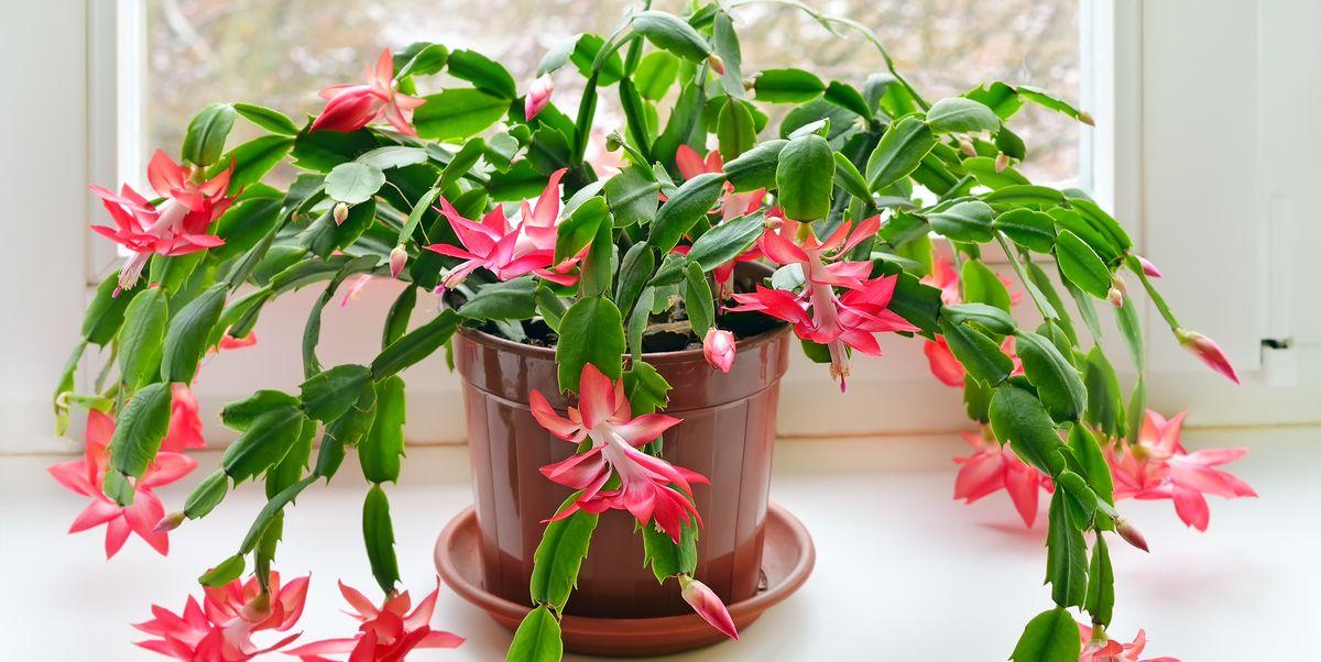 Christmas Cactus Care - How to Care for a Christmas Cactus Plant