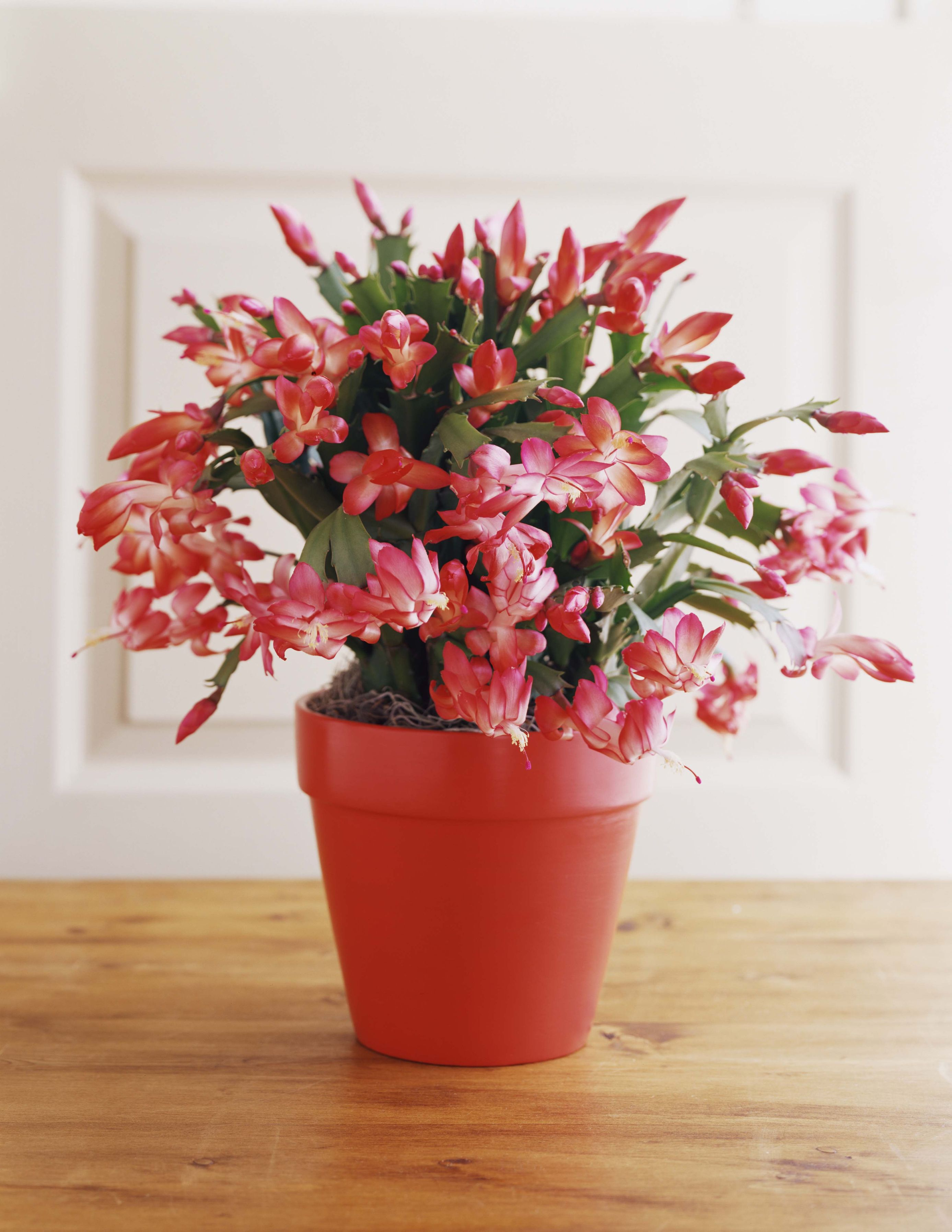 How to Care for Christmas Cactus Indoors , Christmas Cactus