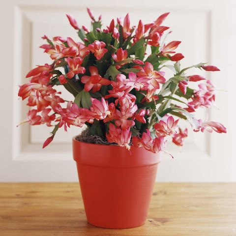 Christmas Cactus.How To Care For Christmas Cactus Indoors Christmas Cactus