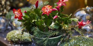 christmas cactus care