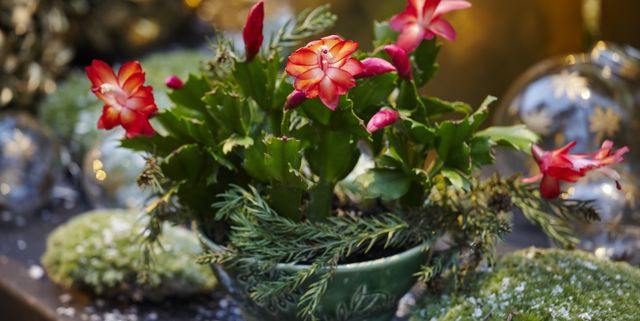 How To Care For Christmas Cactus Indoors Christmas Cactus Plant Care Tips