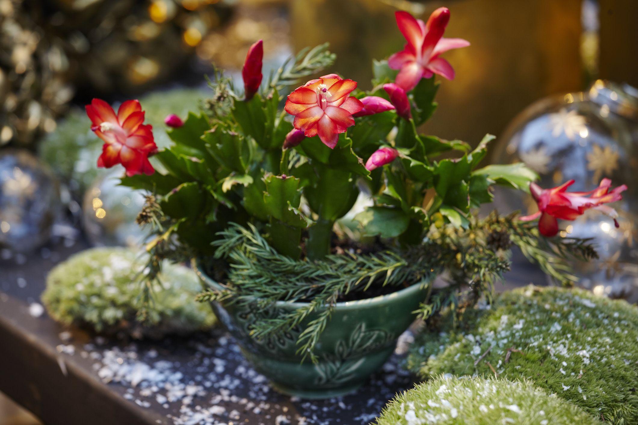 Christmas Cactus Care , How to Care for a Christmas Cactus Plant
