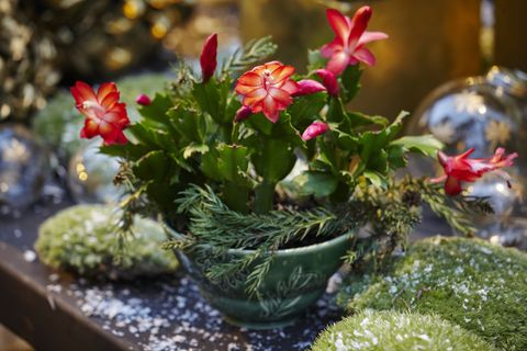 Christmas Cactus Root Rot.Christmas Cactus Care How To Care For A Christmas Cactus Plant