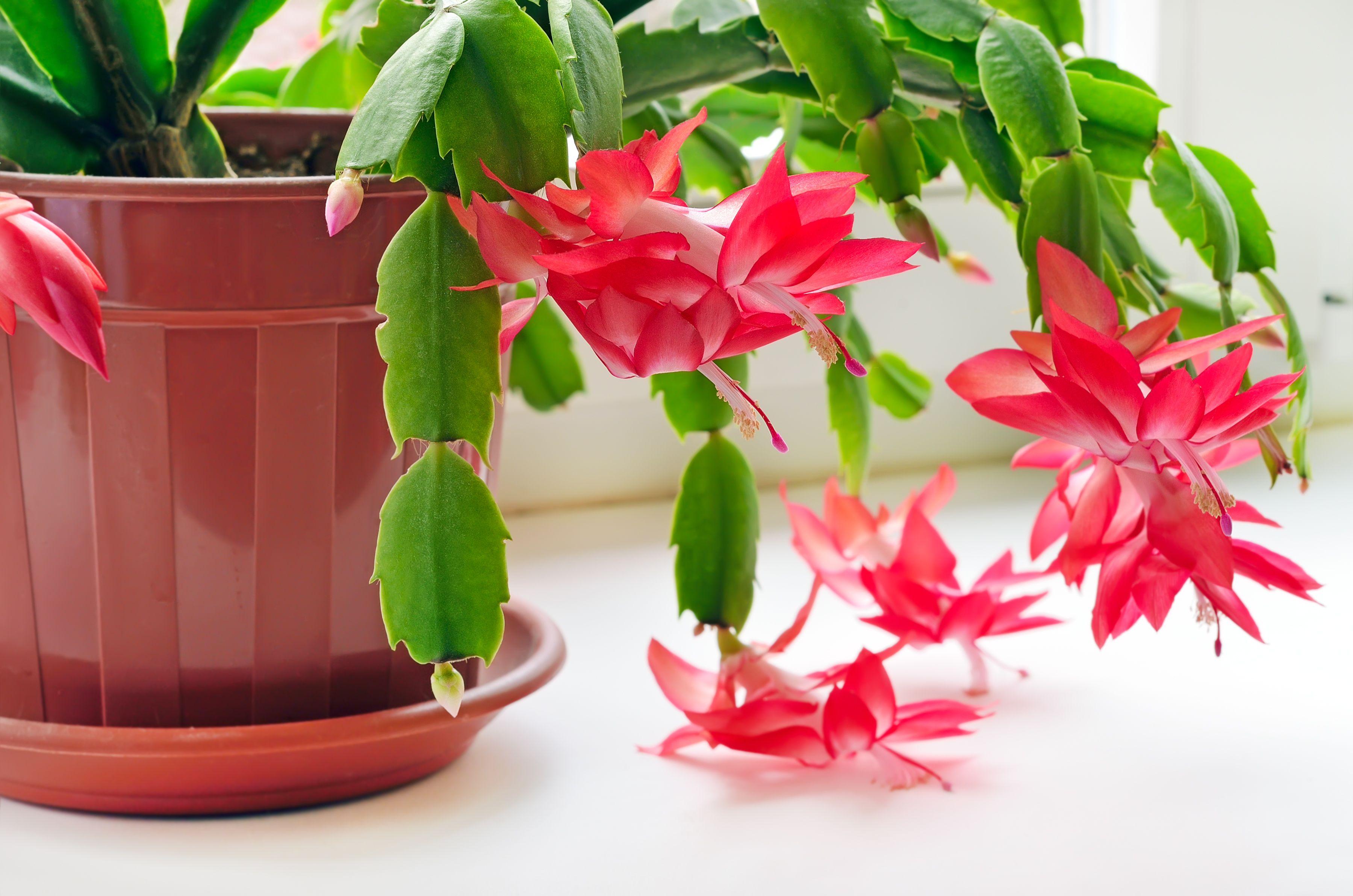 Christmas Cactus , Christmas Cactus Care Guide \u0026 How To Rebloom