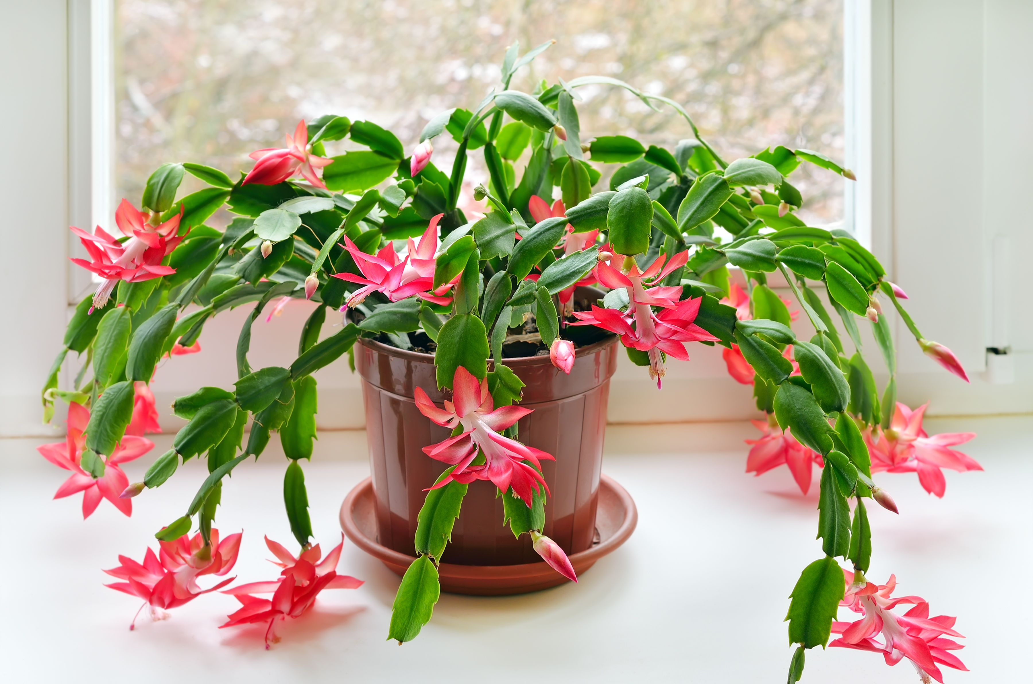 How to Care for Christmas Cactus Indoors - Christmas Cactus Plant