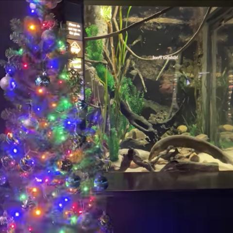 christmas-eel-tennessee-aquarium-