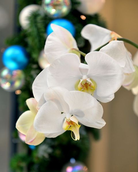 christmas flowers orchid