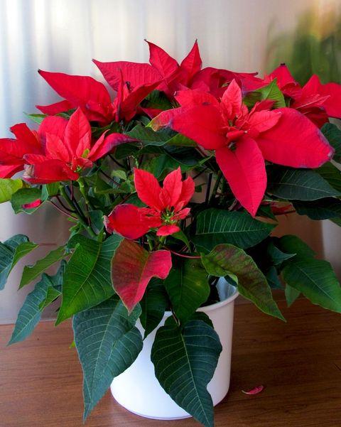 christmas flowers poinsettia