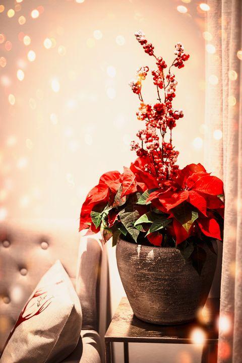 Χριστουγεννιάτικη διακόσμηση με φυτό Poinsettia με κόκκινα φύλλα σε γλάστρα