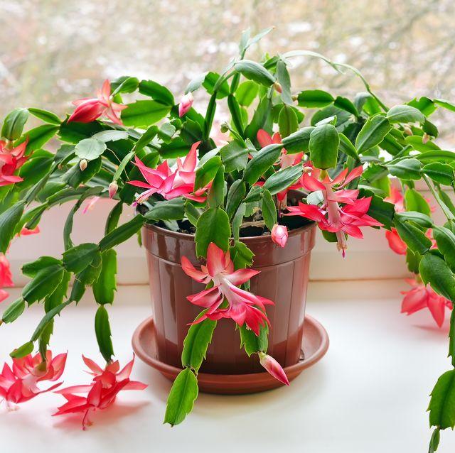 christmas cactus schlumbergera in pot