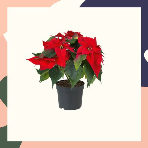Lidl Launches Range Of Must Have Indoor Christmas Plants