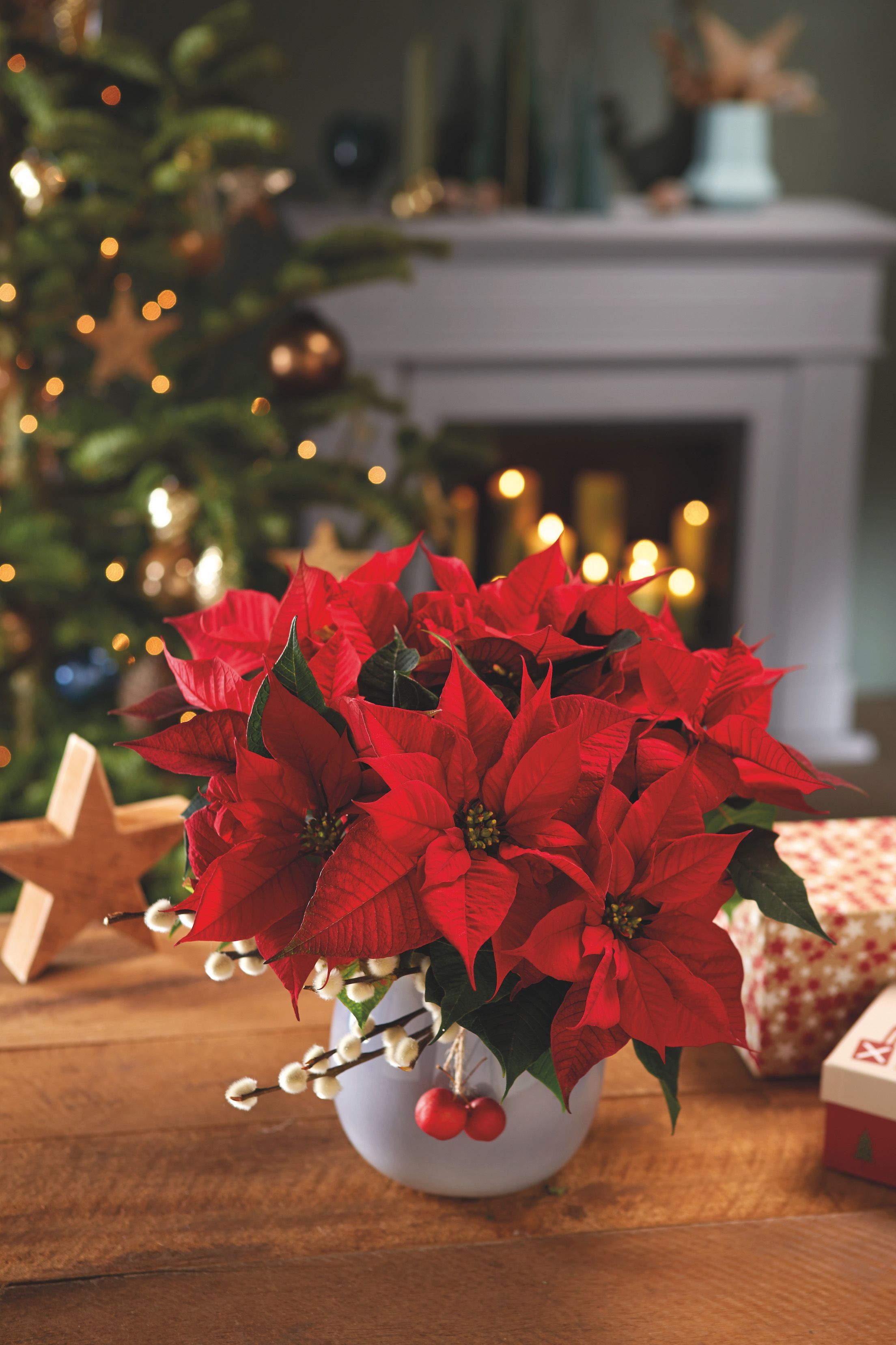 Poinsettia Care Tips 7 Golden Rules For A Plant Christmas
