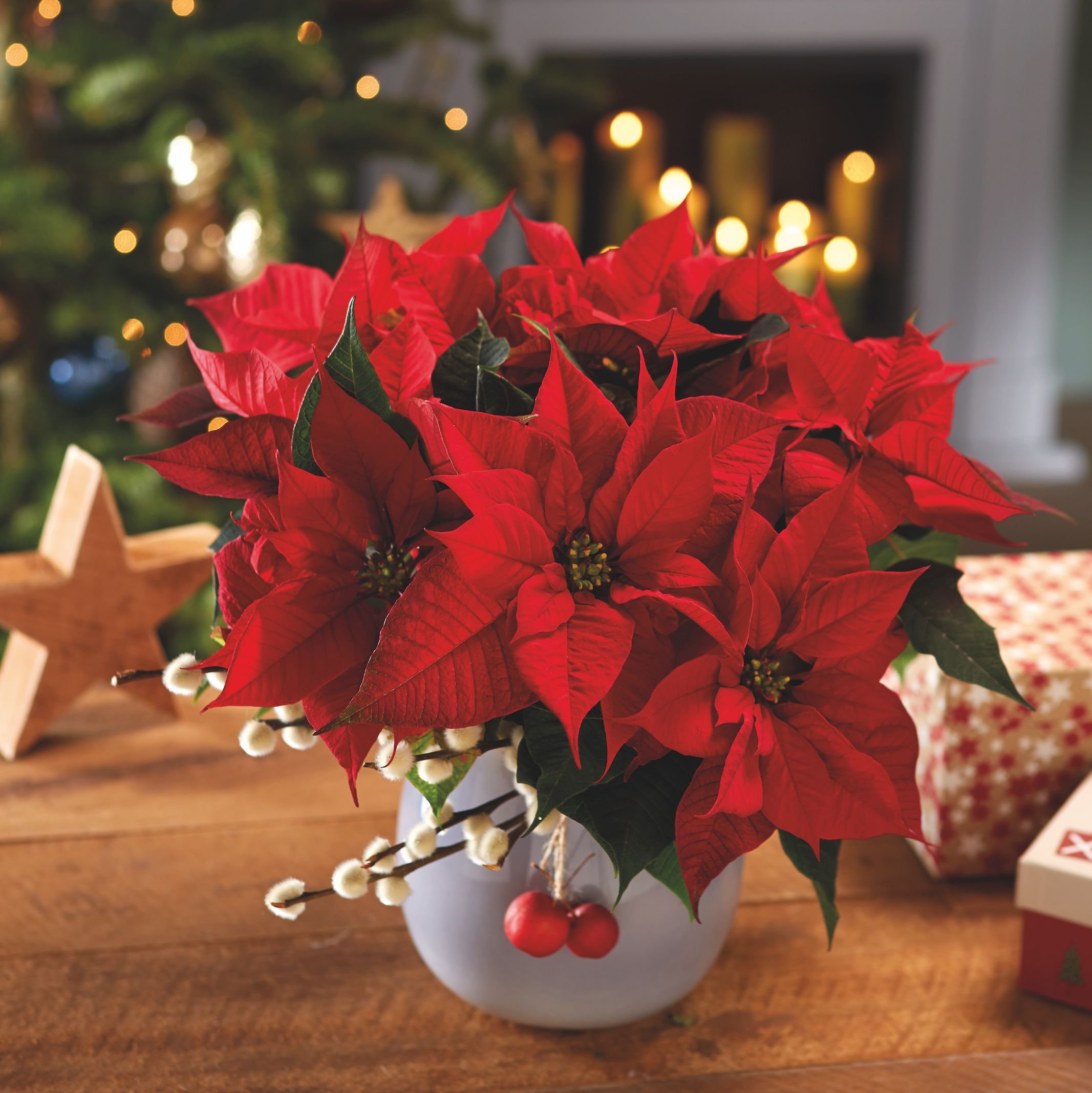 7 golden rules to extend the lifespan of your poinsettia: the perfect Christmas houseplant