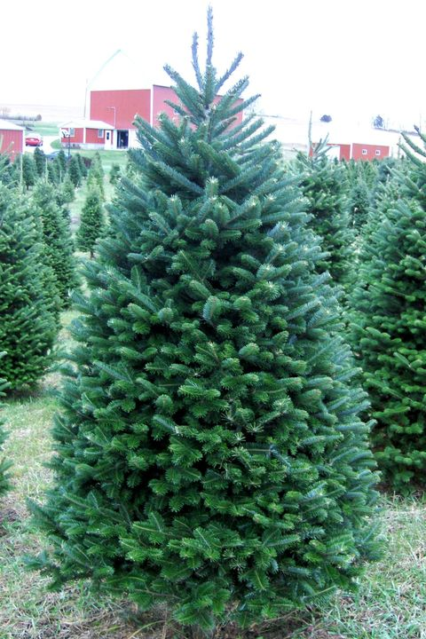 christmas tree delivery services christmas trees in the mail