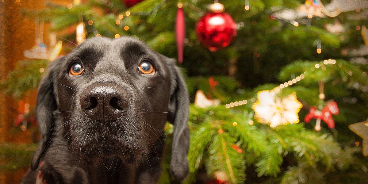 How To Make Sure Christmas Tree Is Safe For Dogs And Cats