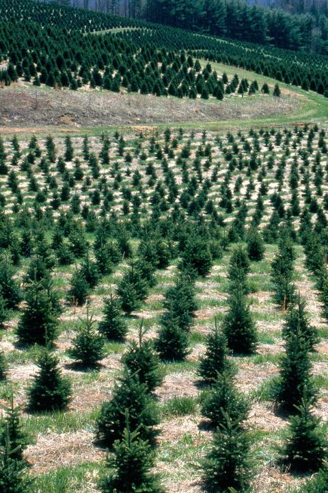 Christmas Tree Farms In Georgia.50 Best Christmas Tree Farms In America Christmas Tree