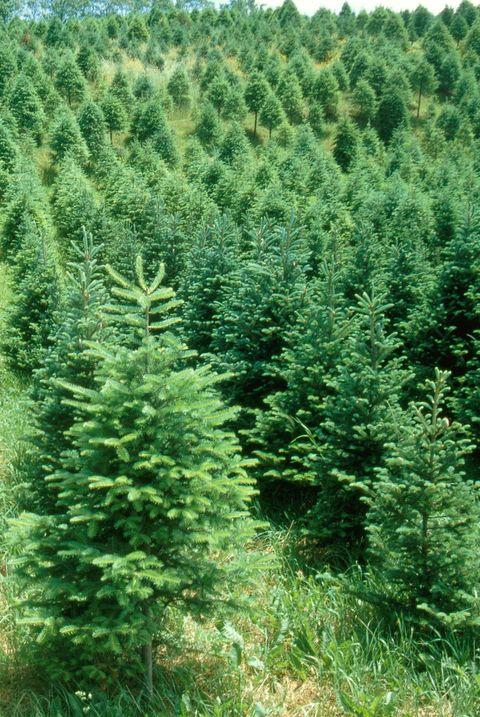 50 Best Christmas Tree Farms In America - Christmas Tree ...