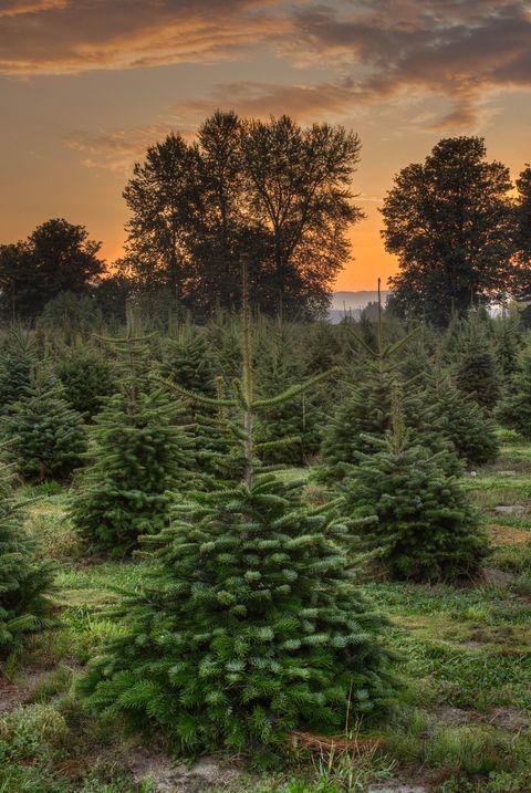 Christmas Tree Farm Photos.50 Best Christmas Tree Farms In America Christmas Tree