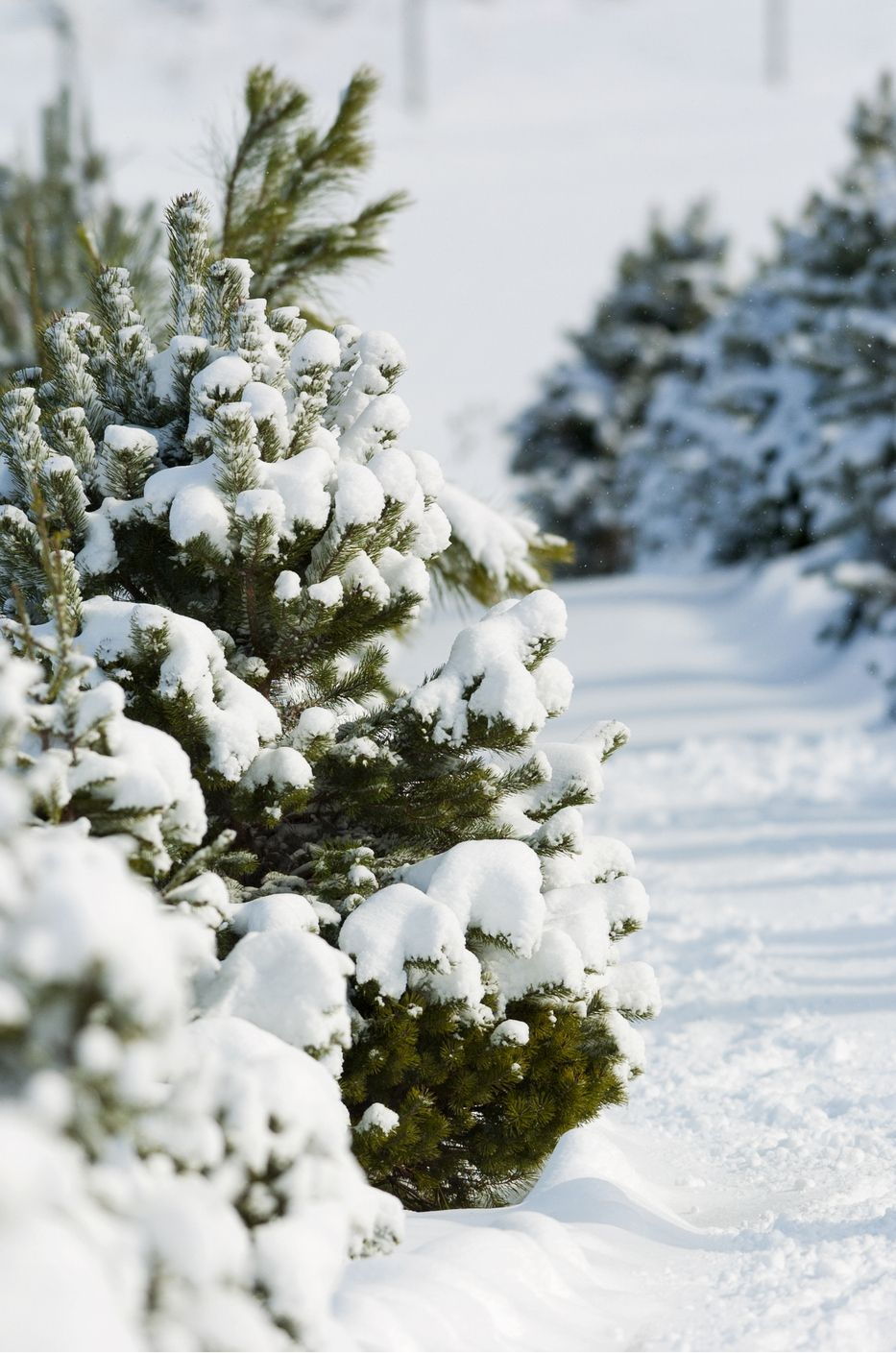 50 Best Christmas Tree Farms In America - Christmas Tree Farms Near Me