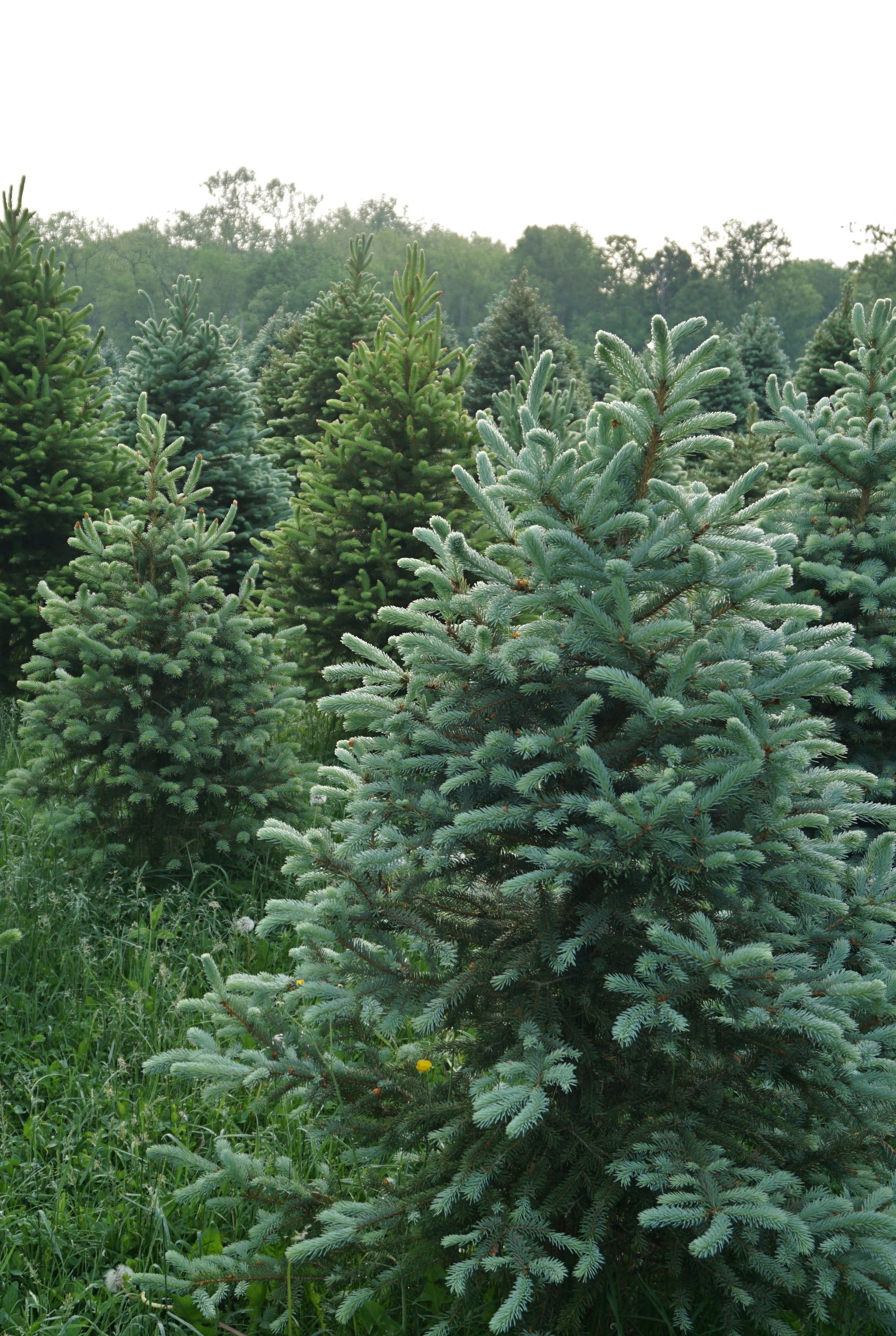 Fish River Trees Christmas Tree Farm Christmas Tree Farm