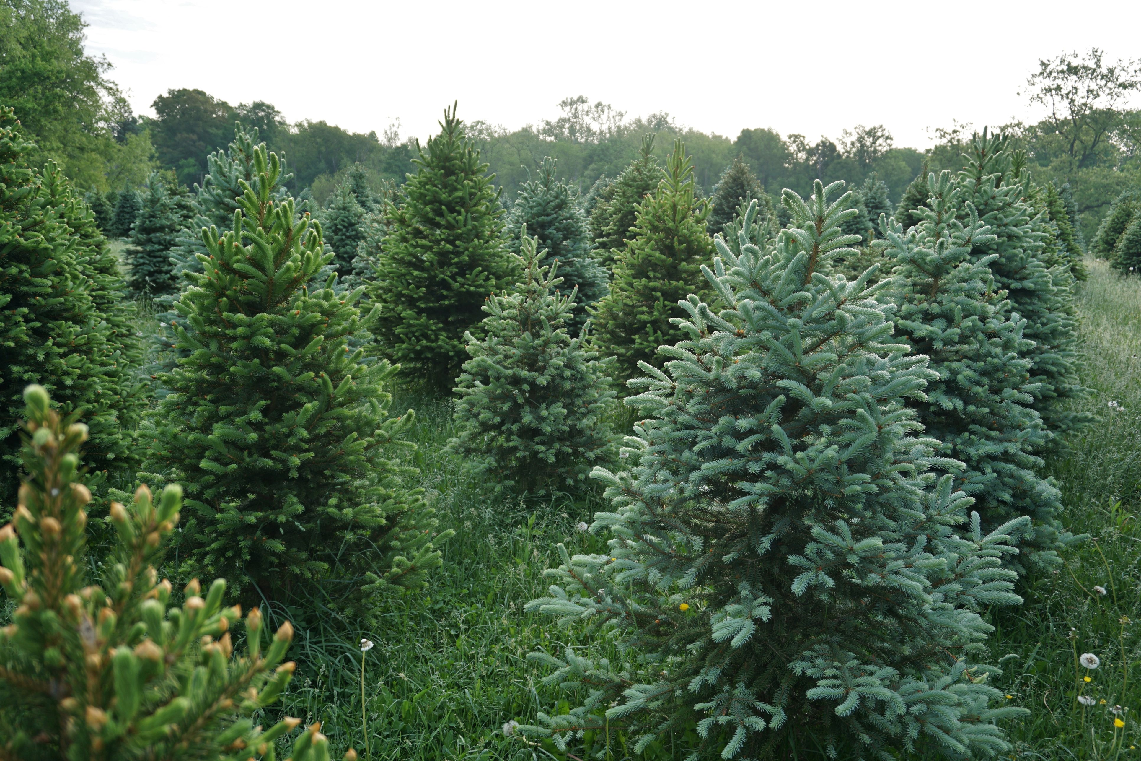 Christmas Forest.The Best Christmas Tree Farm In Every State In 2018 Best