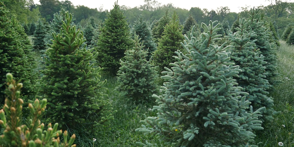 The Best Christmas Tree Farm In Every State In 2018