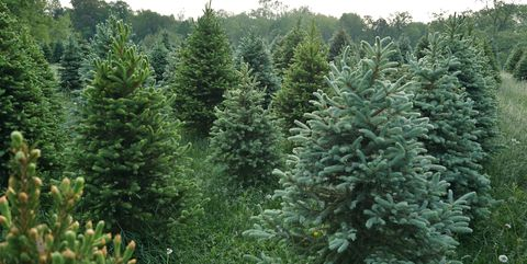 Christmas Tree Farms.The Best Christmas Tree Farm In Every State In 2018 Best
